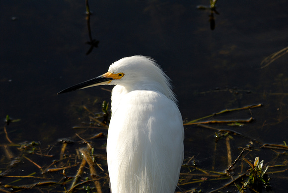 Snowy Egret at Lake Howard, Winter Haven, FL