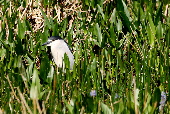 Black-crowned Night-Heron at Lake Hollingsworth, Lakeland, FL