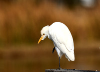 Cattle Egret at lake Howard, Winter Haven, FL