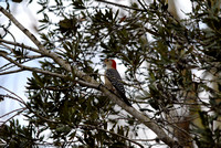 Red-bellied Woodpecker at Lake Parker, Lakeland, FL