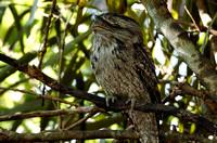 Tawney Frogmouth Podargus