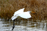 Great Egret at Lake Howard, Winter Haven, FL