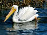 White Pelican at Lake Hollingsworth, Lakeland, Florida