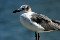 Laughing Gull (Winter Adult) II