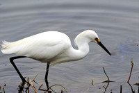 Snowy Egret at Lake Hollingsworth, Lakeland, FL