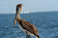 Brown Pelican (Searching)