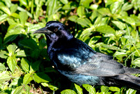 Male Common Grackle - Purple Form