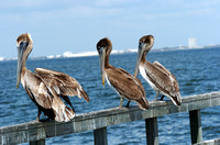 Brown Pelicans (Immature)