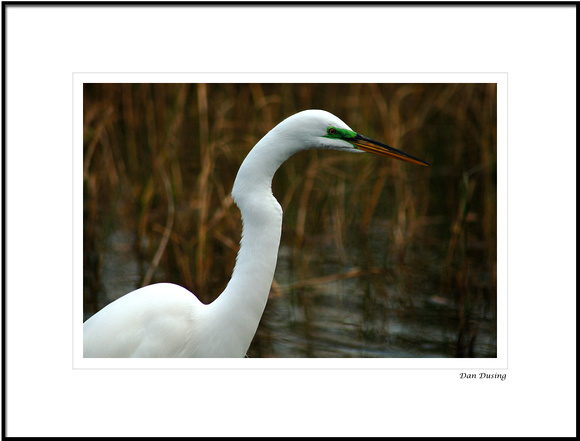 Great White Egret in Breeding Plumage at Lake Parker