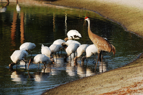 Sand Hill Crane & Wood Storks (aka: The King & His Subjects)