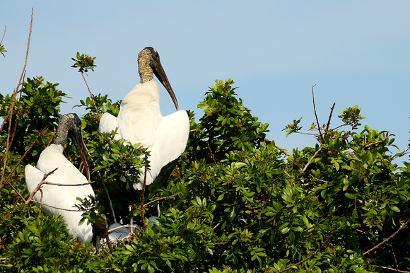 Nesting Wood Storks at Lake John Rookery, Lakeland, FL