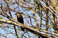 Female Boat-tailed Grackle at Lake Howard, Winter Haven, Florida