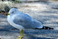 Ring-billed Gull at Lake Howard, Winter Haven, Florida