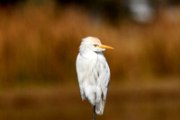 Cattle Egret at Lake Howard Park, Winter Haven, FL