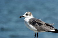 Laughing Gull (Winter Adult)