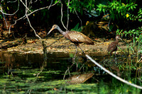 Limpkin & Baby